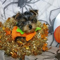 Kc Reg Yorkshire Terrier Puppies Ready To Go