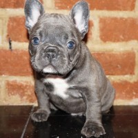 French Bulldog Black Chocolate puppies for adoption
